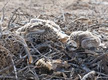 Pulcini del Osprey in un nido Immagini Stock
