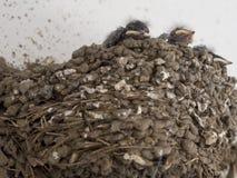 Pulcini del passero Fotografie Stock