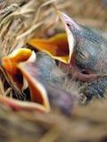 Pulcini del pettirosso del bambino in nido Fotografie Stock Libere da Diritti