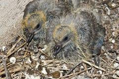 Pulcini del piccione Immagini Stock