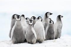 Pulcini del pinguino di imperatore sul ghiaccio fotografie stock libere da diritti