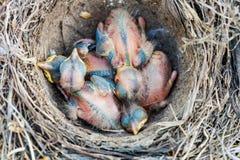 Pulcini del tordo bottaccio che si siedono nel nido Fotografia Stock Libera da Diritti