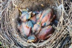 Pulcini del tordo bottaccio che si siedono nel nido Immagine Stock Libera da Diritti