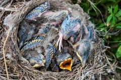 Pulcini del tordo bottaccio che si siedono nel nido Fotografia Stock