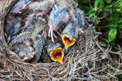 Pulcini del tordo bottaccio che si siedono nel nido Immagini Stock