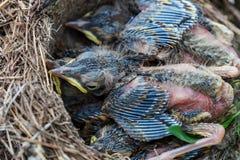 Pulcini del tordo bottaccio che si siedono nel nido Immagine Stock