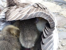 Pulcini dell'oca che si nascondono sotto l'ala di una madre Fotografia Stock