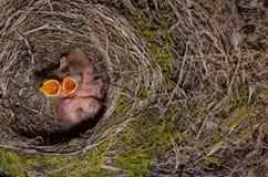 Pulcini dell'uccello del comando in nido Fotografie Stock Libere da Diritti
