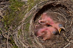 Pulcini dell'uccello del comando in nido Immagine Stock Libera da Diritti