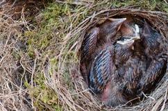 Pulcini dell'uccello del comando in nido Immagini Stock