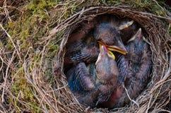 Pulcini dell'uccello del comando in nido Fotografia Stock Libera da Diritti