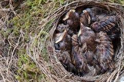 Pulcini dell'uccello del comando in nido Fotografia Stock