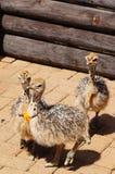 Pulcini dello struzzo a Cape Town, Sudafrica Fotografia Stock