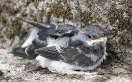 Pulcini dello Swallow Fotografie Stock Libere da Diritti