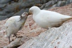 Pulcini di albus femminile di Snowy Sheathbill o di Chionis Immagini Stock Libere da Diritti