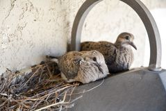 Pulcini di dolore della colomba su una luce fotografie stock libere da diritti
