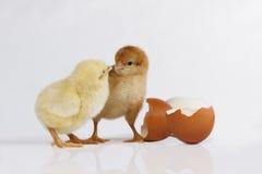 Pulcini di Pasqua immagini stock libere da diritti