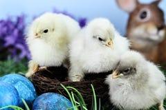 Pulcini di Pasqua nell'erba isolata su bianco Immagine Stock