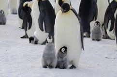 Pulcini e genitore del pinguino di imperatore Immagini Stock