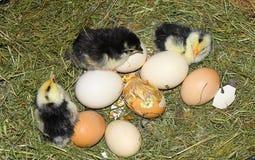 Pulcini ed uova nel nido Fotografie Stock