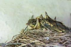 Pulcini nel rroof del unde del nido Fotografie Stock Libere da Diritti
