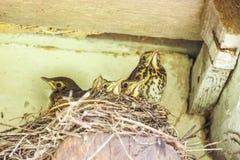 Pulcini nel rroof del unde del nido Immagini Stock Libere da Diritti