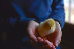 Pulcini neonati del pollo che mangiano foraggio con l'uovo rotto immagine stock