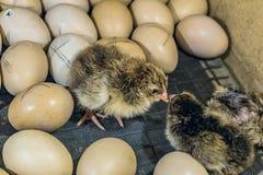 Pulcini neonati in un'incubatrice dell'azienda agricola Fotografie Stock