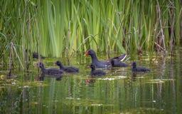 Pulcini oscuri della gallinella d'acqua Fotografia Stock