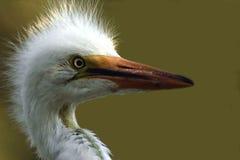Pulcino capo del egret del colpo Fotografia Stock Libera da Diritti