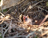 Pulcino cardinale in nido immagini stock libere da diritti