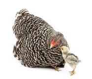 Pulcino che esamina la gallina della madre Immagine Stock