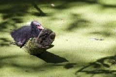 Pulcino comune della gallinella d'acqua da solo nello stagno Immagine Stock Libera da Diritti
