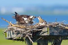 Pulcino d'alimentazione del Osprey Immagini Stock Libere da Diritti