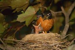 Pulcino d'alimentazione di Robin della madre degli uccelli di bambino Fotografia Stock