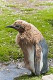 pulcino dei pinguini di re Immagine Stock