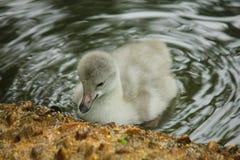 Pulcino del cigno nel lago Fotografia Stock Libera da Diritti