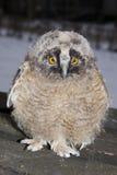 Pulcino del gufo Long-eared (otus del Asio) fotografia stock libera da diritti