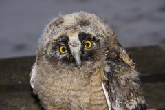Pulcino del gufo Long-eared (otus del Asio) fotografie stock libere da diritti