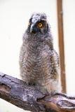 Pulcino del gufo Long-eared (otus del Asio) immagine stock