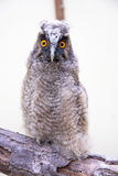 Pulcino del gufo Long-eared (otus del Asio) fotografia stock