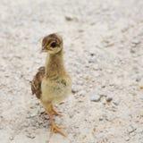 Pulcino del Peafowl Fotografie Stock
