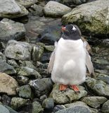 Pulcino del pinguino di Gentoo sull'isola di Petermann, Antartide Fotografia Stock Libera da Diritti