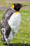 Pulcino del pinguino di re Immagine Stock Libera da Diritti