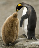Pulcino del re Penguin Adult Feeding Downy immagine stock