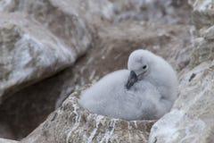Pulcino dell'albatro in un nido immagini stock libere da diritti