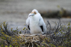 Pulcino dell'uccello di fregata immagini stock