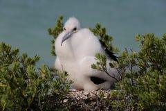 Pulcino dell'uccello di fregata fotografia stock libera da diritti