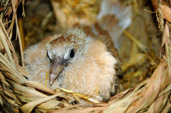 Pulcino della colomba di Ringneck Immagini Stock