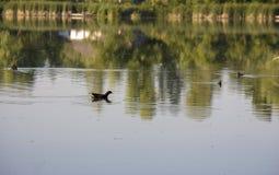 Pulcino della gallinella d'acqua, anatra selvatica con le nuotate rosse del becco di un chloorpus del Gallinula sullo stagno nel  immagini stock libere da diritti